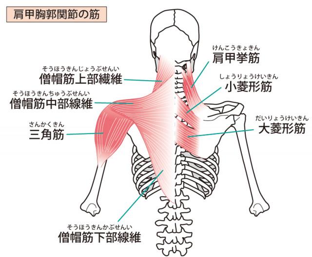 肩周りの筋肉・骨格のイラスト
