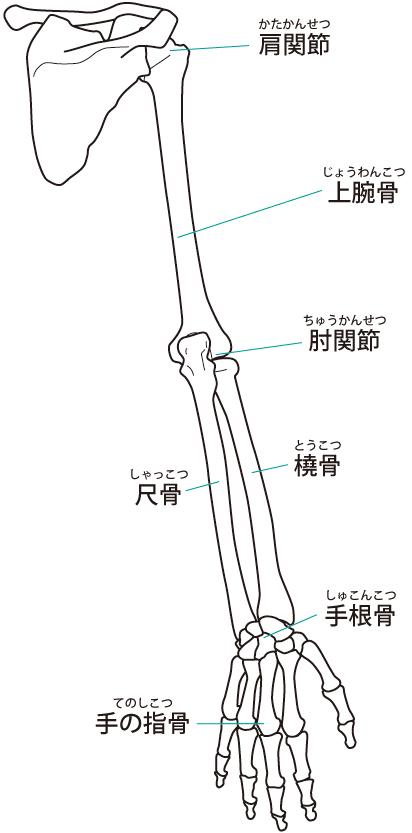 肩周りの関節のイラスト